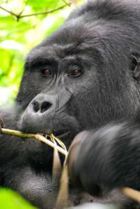 rwanda-gorila-tour
