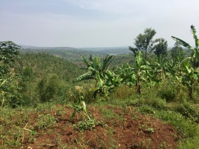Bananas grown near ETSK school in Musha, Rwanda